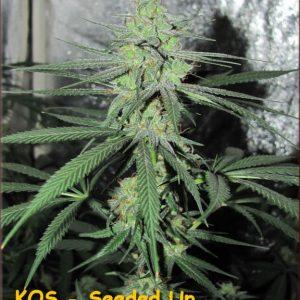 KOS - Black Poison