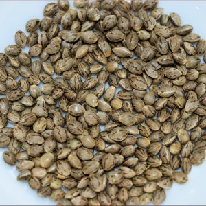 Chunky Cherry Thai Organic Cannabis Seeds by Kingdom Organic Seeds